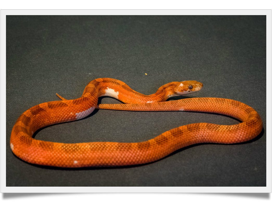 Pantherophis guttatus piedsided2